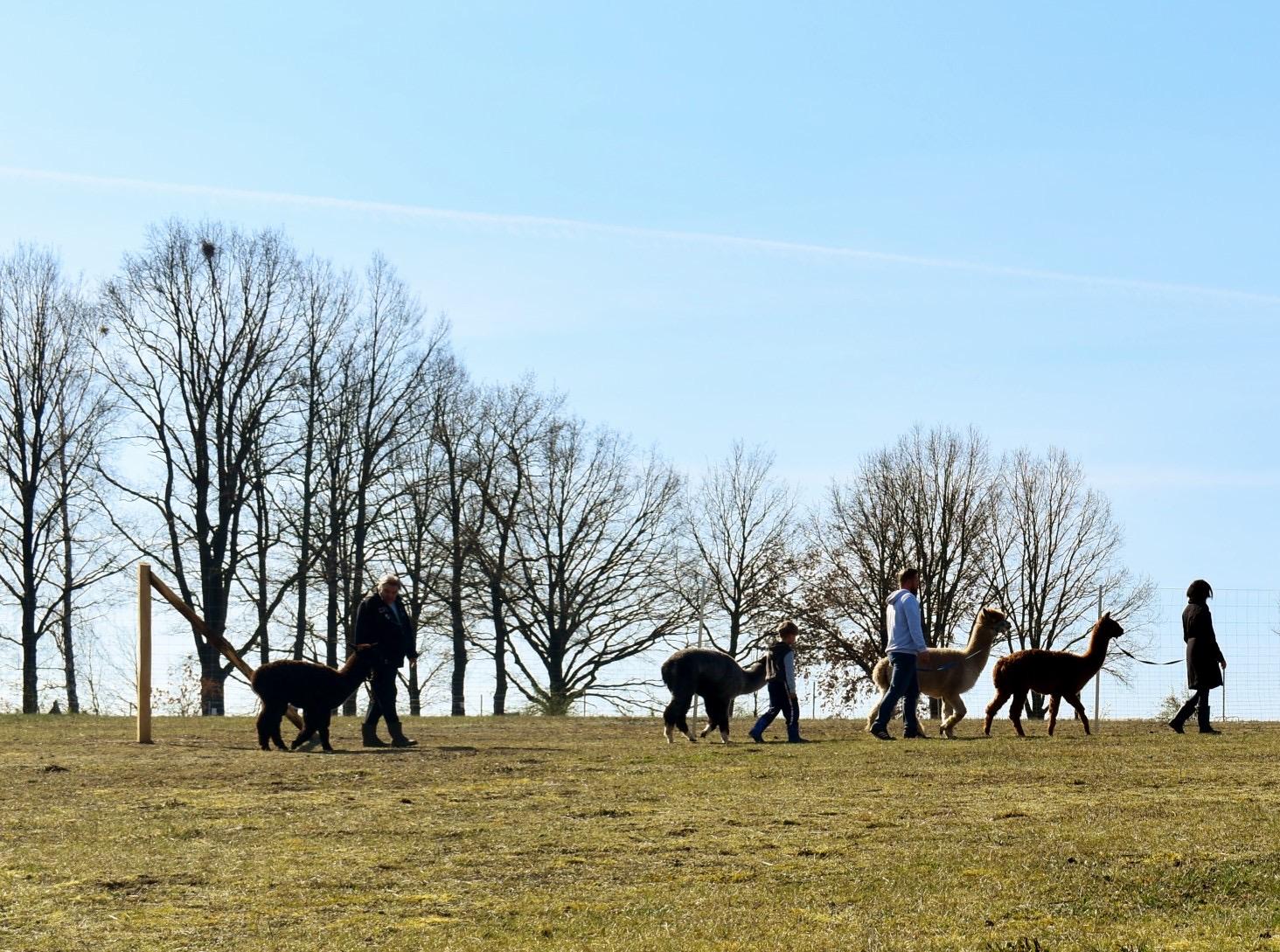 Alpaka Wanderung in Brandenburg